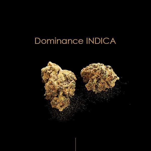 critical kush cbd cannabis canabis